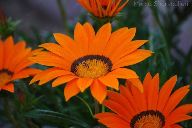 orange_flowers