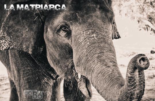elefante_matriarca_blog